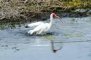 White Ibis having a bath