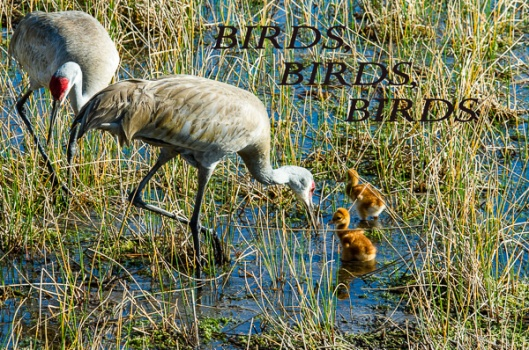 Sand Hill Cranes with 2 day old chicks.