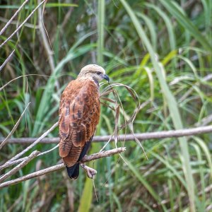 Ring-Necked Hawk